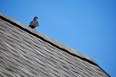 Grey Pigeon With Orange Eye Sitting On Edge Of Grey Asphalt Shingles Roof On Bright Blue Clear Sky B poster