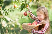 Girl With Apple In The Apple Orchard. Beautiful Girl Eating Organic Apple In The Orchard. Harvest Co poster