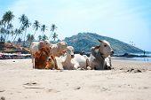 Постер, плакат: Корова на красивом тропическом пляже Гоа Индия