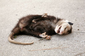 stock photo of possum  - a dead opossum on a sidewalk - JPG