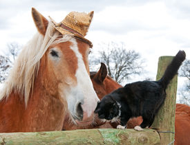 picture of gentle giant  - Belgian Draft horse wearing a silly worn out straw hat nuzzling with his tiny black and white kitty cat friend - JPG