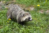foto of hayfield  - a Raccoon Dog walking in grassy ambiance - JPG