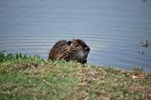 stock photo of muskrat  - An American muskrat sits on a bank of a lake in the sun letting its brown long fur dry - JPG