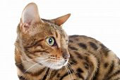 foto of bengal cat  - portrait of a purebred bengal cat on a white background - JPG