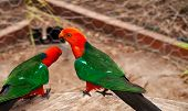 stock photo of king parrot  - Red Head male Australian King Parrot Alisterus scapularis native birds - JPG