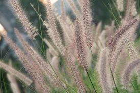 image of fountain grass  - a field of fountain grass - JPG