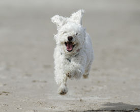 stock photo of cockapoo  - Small White Cockapoo is Airborne as it Runs For Joy on a Sandy Beach  - JPG