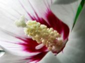 foto of rose sharon  - close up of rose of sharon - JPG