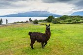 Alpaca And Osorno Volcano On A Cloudy Day, Chile