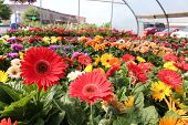 pic of staples  - Ruffle gerbera daisies are one of the most beautiful flowers in any gardener