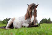 image of tame  - beautiful pony on the field - JPG