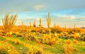 stock photo of ocotillo  - Saguaros in Sonoran Desert at sunset - JPG