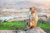 stock photo of hanuman  - Monkey sitting at Hanuman Monkey Temple near ruins of Vijayanagara Empire in Hampi Karnataka India - JPG