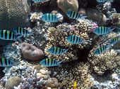 picture of sergeant major  - A school of sergeant major damselfish on coral