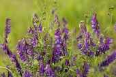 picture of meadowsweet  - Purple flower vetch  - JPG