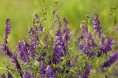stock photo of meadowsweet  - Purple flower vetch  - JPG