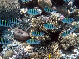 image of damselfish  - A school of sergeant major damselfish on coral  - JPG