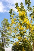 picture of cassia  - Ratchaphruek or golden shower tree  - JPG