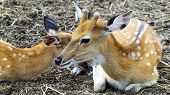 foto of deer family  - Deer are the ruminant mammals forming the family Cervidae - JPG