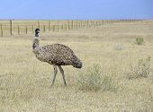 pic of ostrich plumage  - Emu - JPG