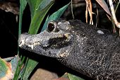 picture of crocodilian  - A head shot of a dwarf crocodile - JPG