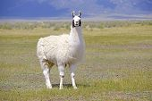 pic of lamas  - Isolated Llama in field a mountain landscape - JPG