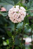 foto of rare flowers  - Blooming Rose Clerodendrum flower - JPG