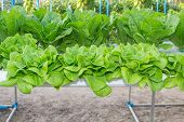 pic of romaine lettuce  - Fresh Romaine Lettuce vegetable in a Hydroponic farm - JPG