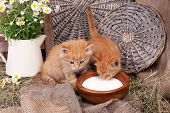 foto of household farm  - Cute little red kittens drinking milk on barn wall background - JPG