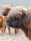 stock photo of yaks  - closeup portrait of a yak animal background - JPG