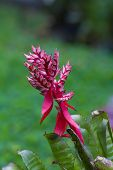 pic of bromeliad  - Bromeliad flower in the garden with green blurry background - JPG