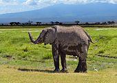 pic of kilimanjaro  - Kilimanjaro elephants in Amboseli National Park Kenya - JPG