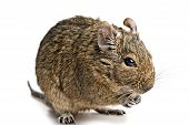 pic of gopher  - degu mouse with food in paws closup isolated on white background - JPG