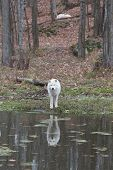 stock photo of horrific  - A lone Arctic Wolf in the woods  - JPG