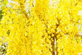 foto of cassia  - Fully yellow color of Golden flower or Cassia fistula with blue sky background - JPG