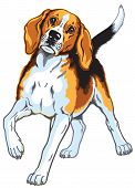 picture of foxhound  - beagle dog breed - JPG