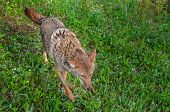 picture of coyote  - Adult Coyote (Canis latrans) Runs Through Grasses - captive animal