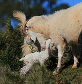pic of baby goat  - A mother goat tends her baby kid.