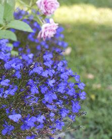 foto of lobelia  - Blue flowers lobelia growing outdoors in the garden - JPG