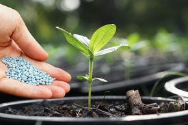 image of humus  - a hand giving fertilizer to a young plant in a plastic pot  - JPG