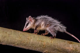 image of opossum  - andean white eared opossum on a branch zarigueya over black background - JPG
