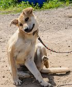 picture of scratch  - creamy dog with leash scratching an itch - JPG