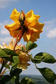 foto of yellow buds  - Yellow roses with buds in village garden - JPG