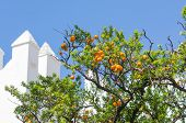 foto of tangerine-tree  - orange tangerine branch on a tree in a sunny day and blue sky - JPG