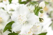 stock photo of jasmine  - Close up shot of white jasmine flowers. ** Note: Shallow depth of field - JPG