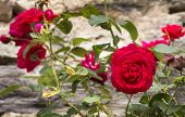 picture of climbing roses  - Old - JPG