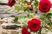 stock photo of climbing roses  - Old - JPG