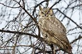 picture of owl eyes  - Great Horned Owl with an Injured Eye - JPG