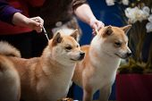 picture of pure-breed  - Japanese Breed Shiba Inu at the dog show portrait - JPG