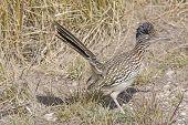 stock photo of grassland  - Road Runner in the Grasslands in Big Bend National Park in Texas - JPG